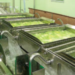 スーパーやコンビニのカット野菜は漂白剤まみれ?⇒本当は…