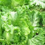 しおれた葉物野菜を、シャキッと復活させる方法
